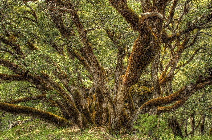 Sierra Nevada Photograph - Wild Wood by Ren Alber