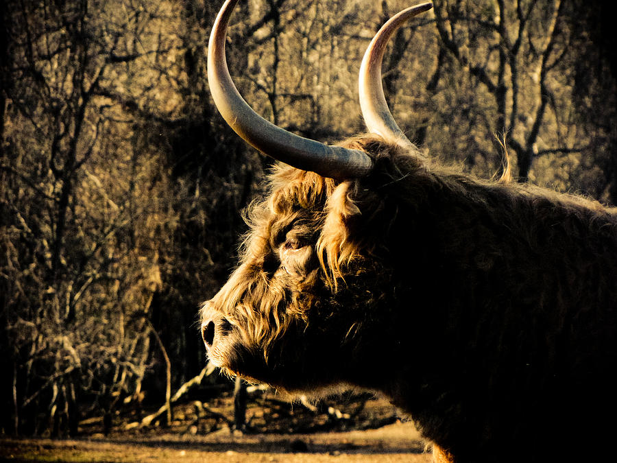 Bison Photograph - Wildthings by Jessica Brawley
