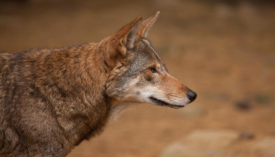 Wolf Photograph - Wile E Coyote by Karol Livote