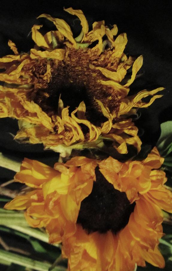 Wilted Sunflowers Photograph by Todd Sherlock