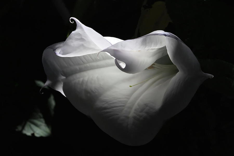 Flower Photograph - Wilting Beauty by Angie Vogel