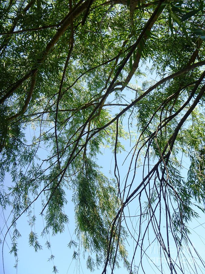 Perspective Photograph - Wind In The Willow by Alys Caviness-Gober