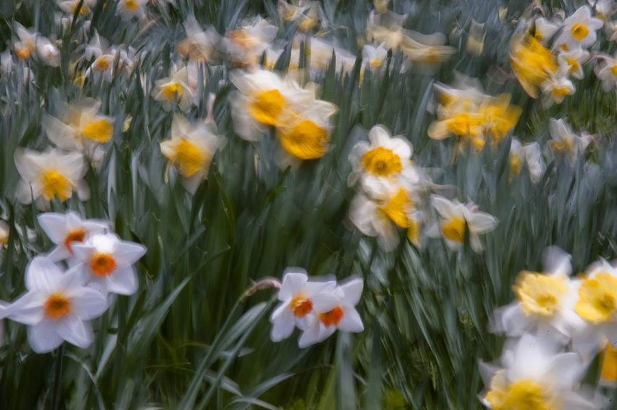 Daffodil Photograph - Wind by Ron Smith
