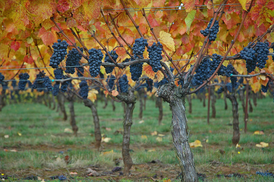 Wine Photograph - Wine Grapes - Oregon - Willamette Valley by Jeff Burgess