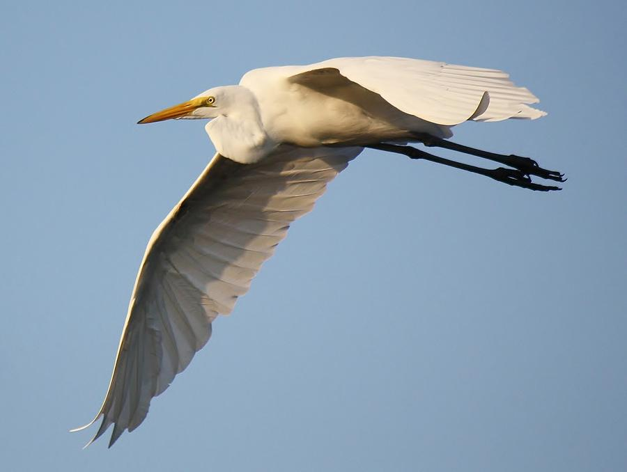 Great White Egret Photograph - Wing Down by Paulette Thomas