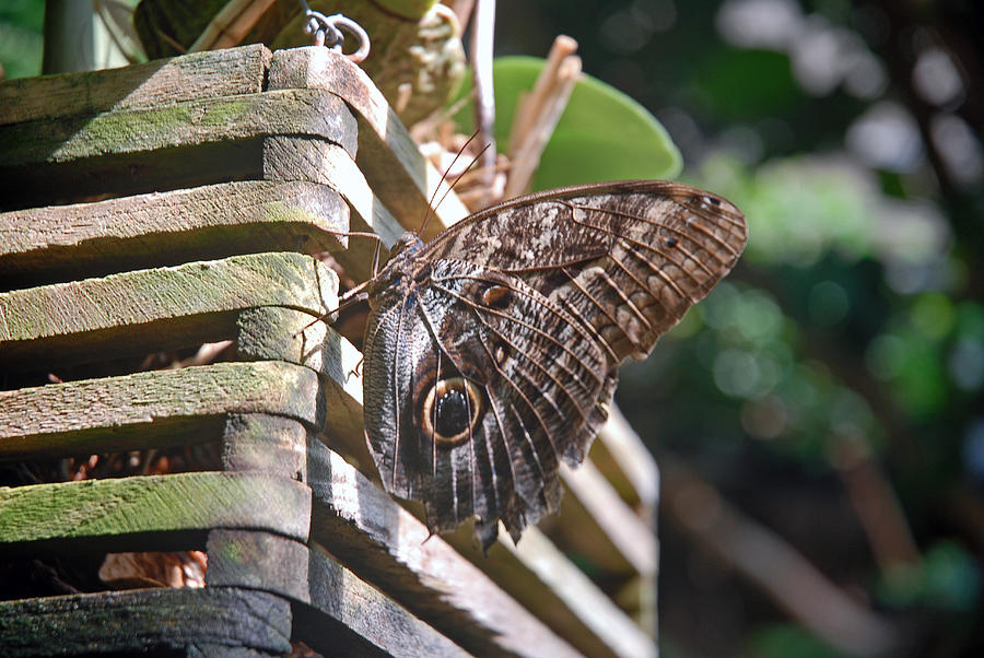 Butterfly Photograph - Winged Wood by Robert Meyers-Lussier