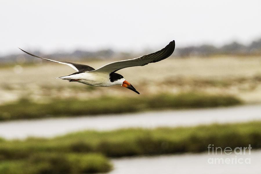 Bird In Flight Photograph - Wings  by Edward Lee