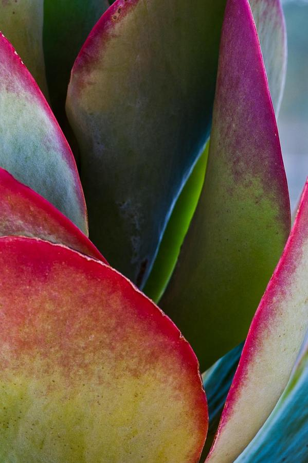 Succulent Photograph - Wings Enfolded by Kate McKenna
