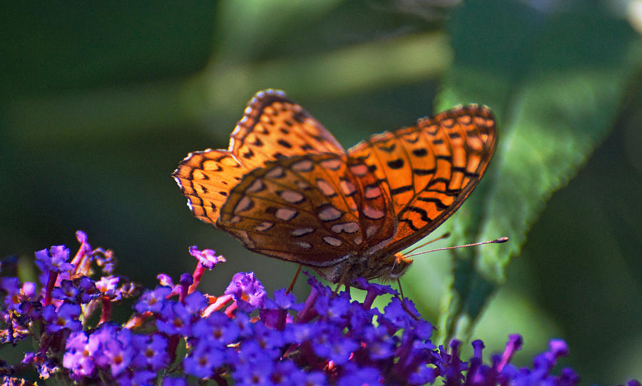 Butterfly Photograph - Wings Of Fire by Cheryl Cencich