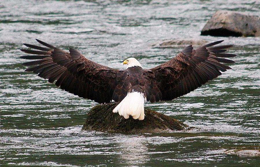 Bald Eagle Digital Art - Wings Of Glory 2 by Carrie OBrien Sibley