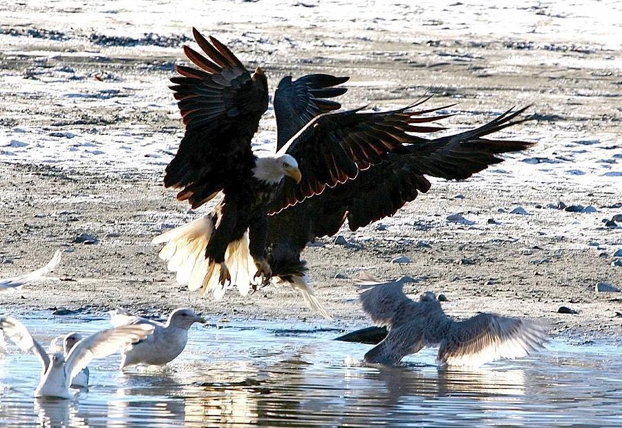 Bald Eagles Digital Art - Wings Wings Wings by Carrie OBrien Sibley