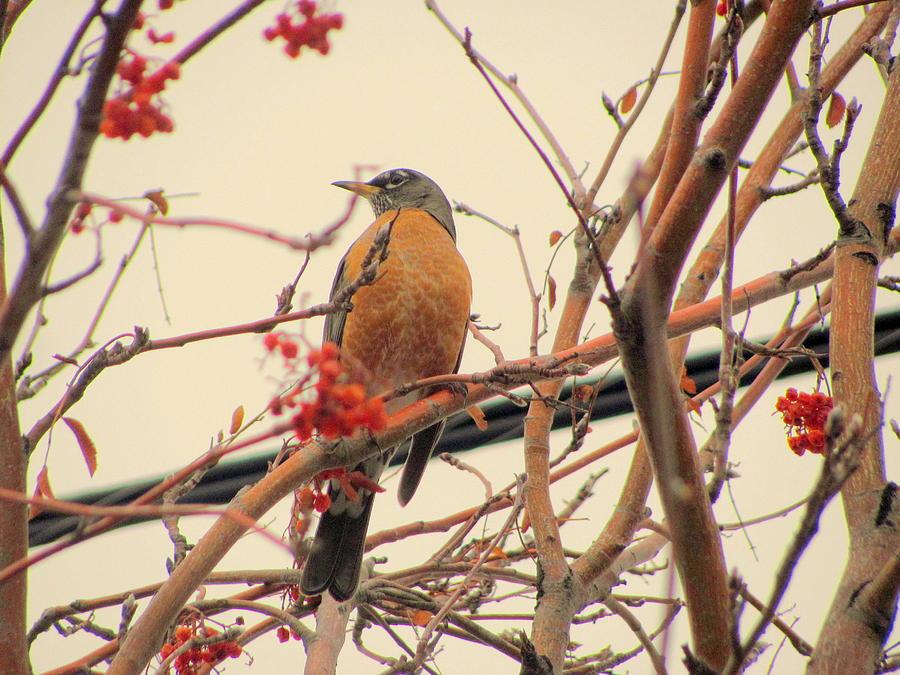 Winter Photograph - Winter Bird in Mountain Ash Tree by Amy Bradley