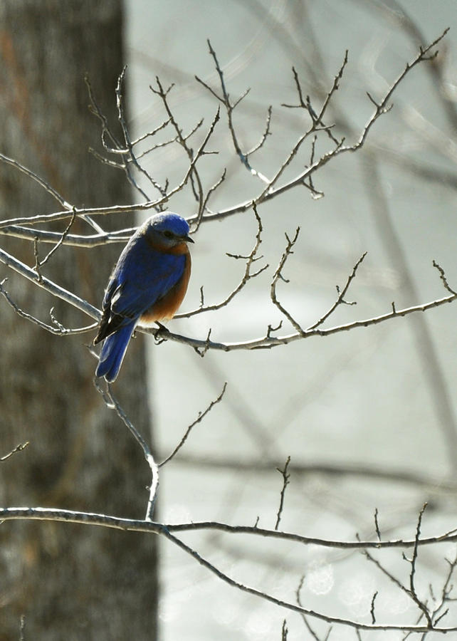 Sialia Sialis Photograph - Winter Bluebird by Rebecca Sherman