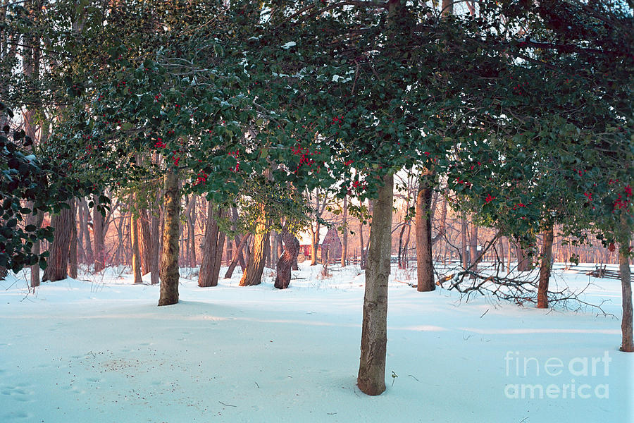 Season Photograph - Winter Holly by George Oze