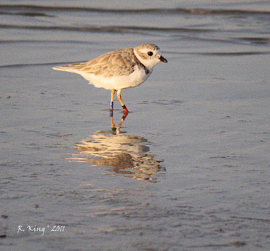Piping Plover Photograph - Winter Piping Plover Banded 2 by Roena King