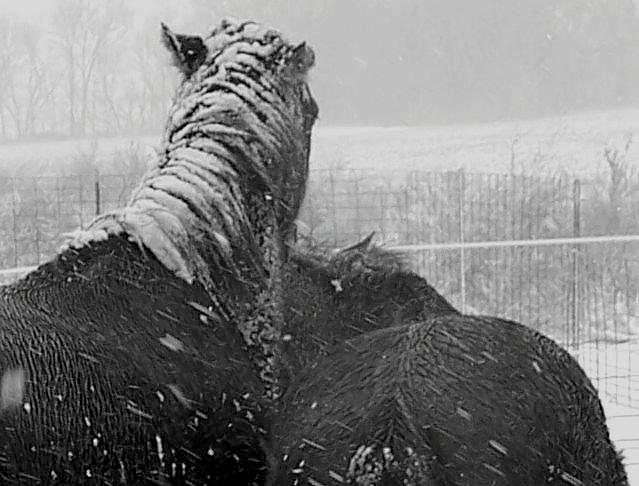 Winter Quarter Horses Photograph by Michele Carter