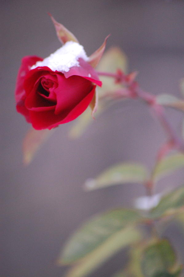 Pure Photograph - Winter Rose by Dickon Thompson