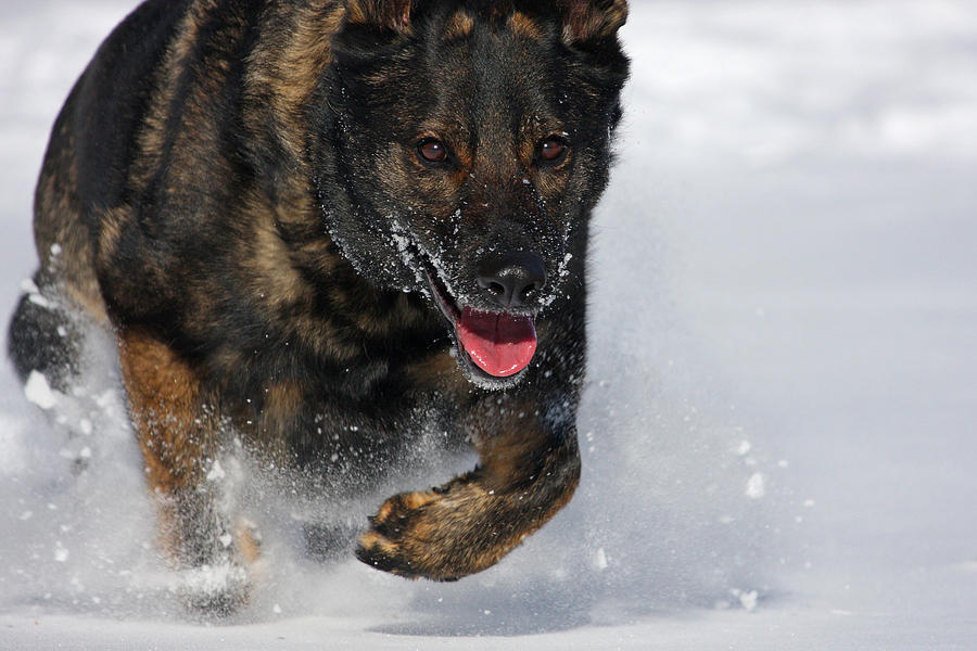 German Shepherd Photograph - Winter Run by Karol Livote