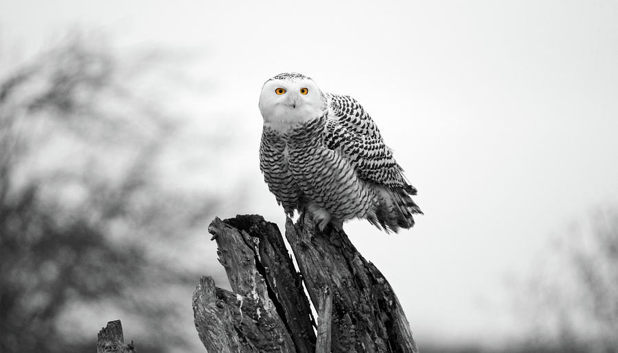 Snowy Owls Photograph - Winter Snowy Owls by Pierre Leclerc Photography