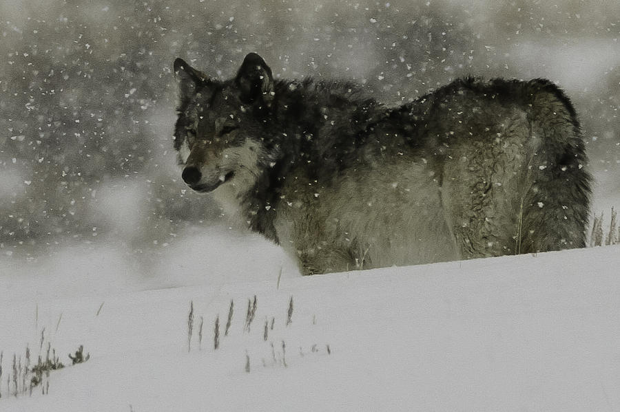 Wolf Photograph - Winter Wolf #1 by Kenneth McElroy