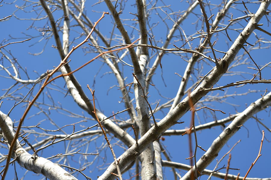 Tree Photograph - Winters Branches by Naomi Berhane
