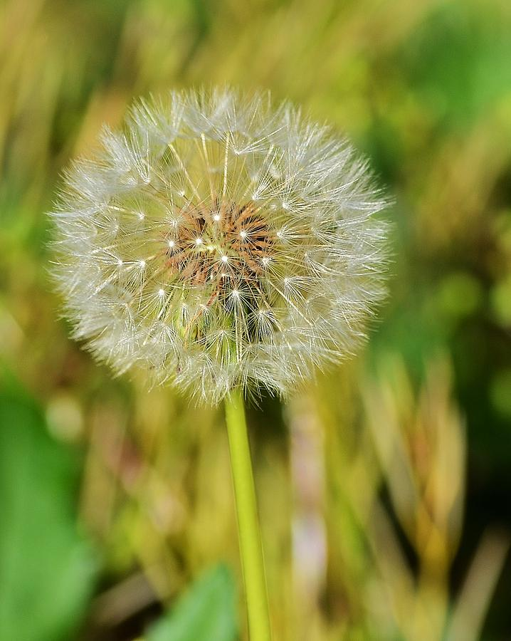 Dandelion Photograph - Wishes by Mary Zeman