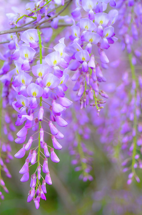 Vertical Photograph - Wisteria Flowers In Bloom by Natalia Ganelin