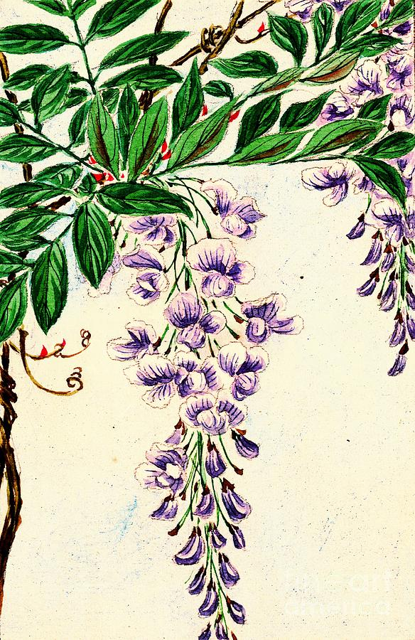 Wisteria Vine Blooms 1870 Photograph By Padre Art