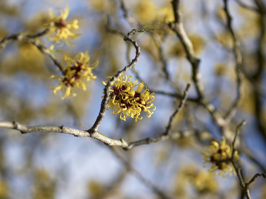 Witch Hazel Hamamelis Mollis Flowers Photograph By Adrian Bicker