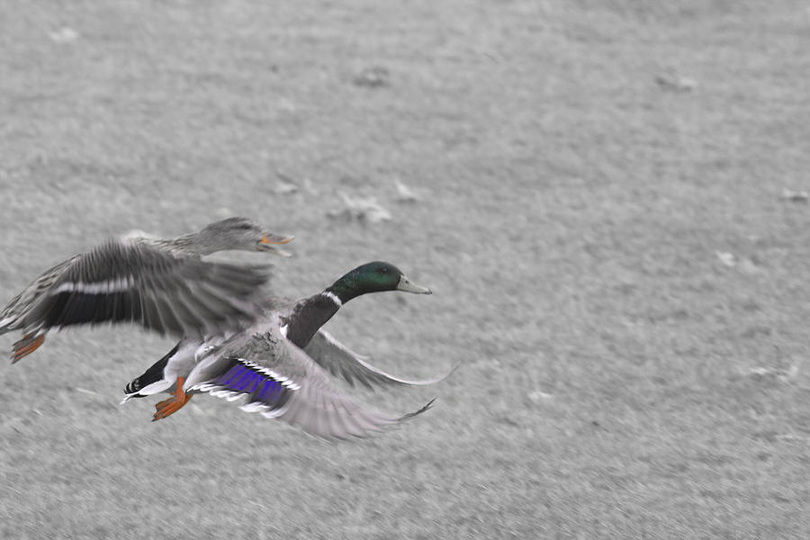 Birds Photograph - With The Finishing Line In Sight  by Douglas Barnard