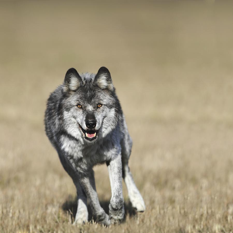 Wolf Canis Lupus Running Towards Camera Photograph by ...