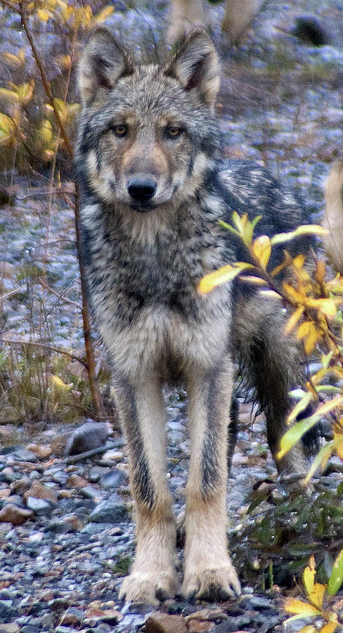 Alaska Photograph - Wolf Cub in Denali by Jim and Kim Shivers