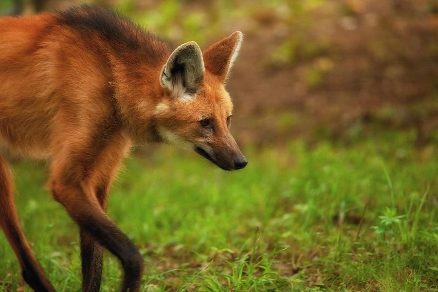 Maned Wolf Photograph - Wolf Strut by Karol Livote