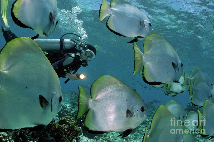 People Photograph - Woman Diving With School Of Batfish by Sami Sarkis