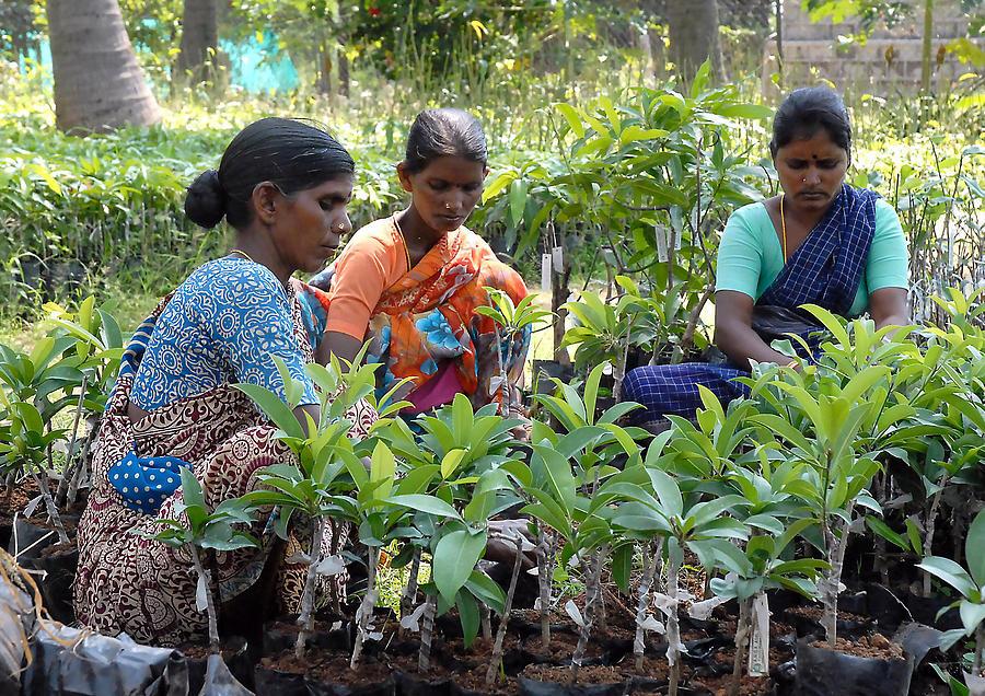 Mango Plants Trees Women Saree Leaves Orange Blue Green Purple White  Photograph - Women Grafting Mango Plants by Johnson Moya