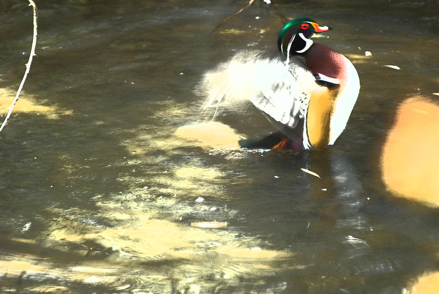 Nature Photograph - Wood Duck Playing In Pond by Richard Adams