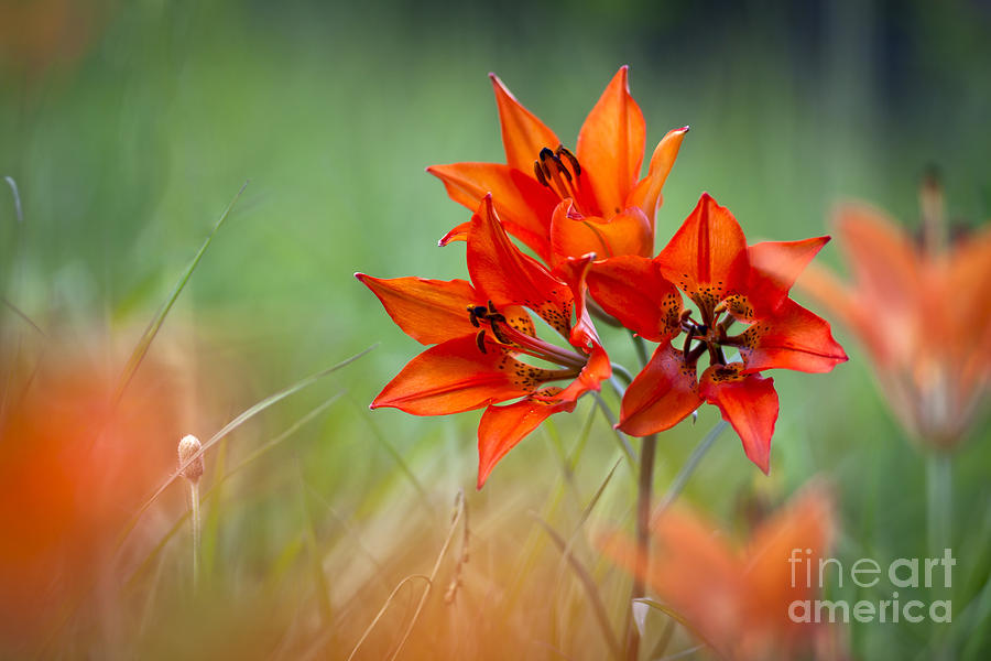 Flower Photograph - Wood Lily by Hal Horwitz and Photo Researchers