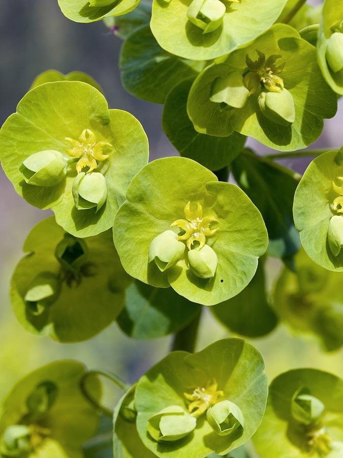 Wood Spurge Euphorbia Amygdaloides Photograph By Adrian Bicker