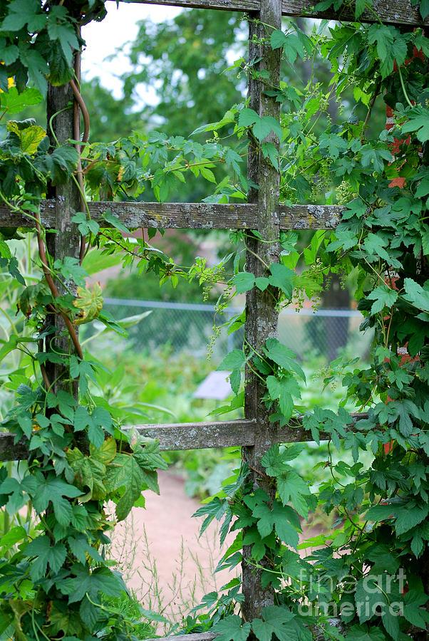 Trellis Photograph - Wooden Trellis And Vines by Nancy Mueller