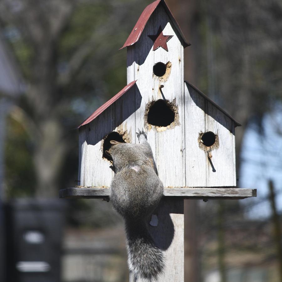 Squirrel Photograph - Work It Girl by Teresa Mucha