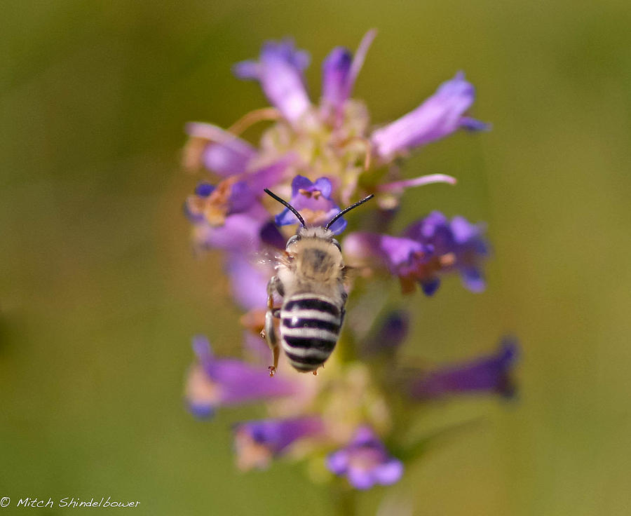 Bee Photograph - Worker Bee by Mitch Shindelbower