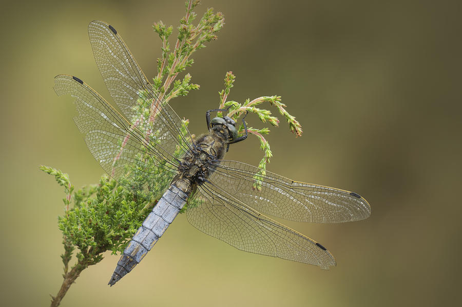 Dragonfly Photograph - Wounded Hero by Andy Astbury