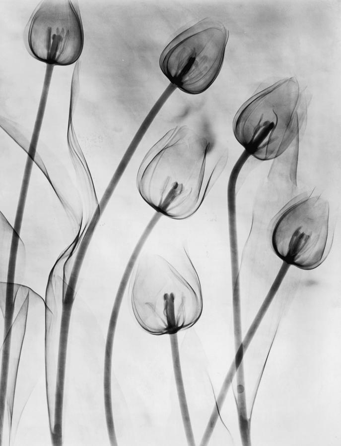 Vertical photograph x ray tulips on white by edward charles le grice