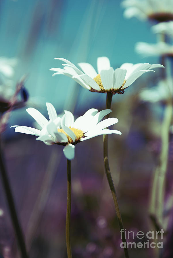 Daisies Photograph - Xposed - S02 by Variance Collections