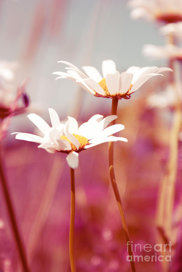 Daisies Photograph - Xposed - S03 by Variance Collections