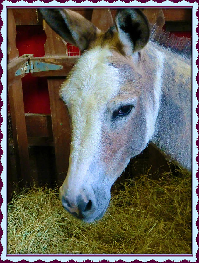 Mule Photograph - Yahoo The Mule by Mindy Newman