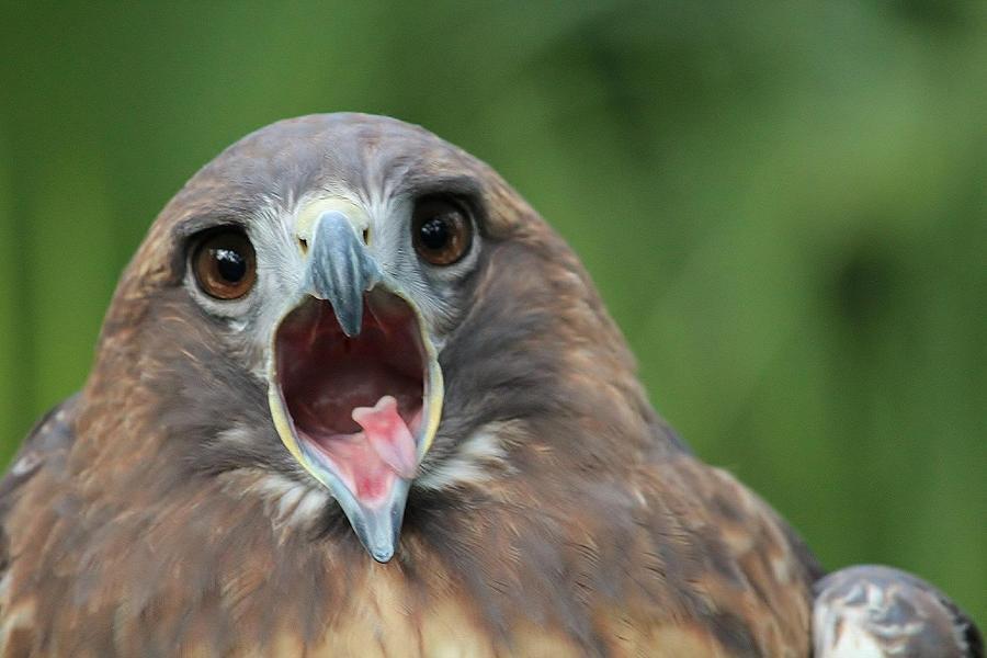Hawk Photograph - Yawning Hawk by Alexander Spahn