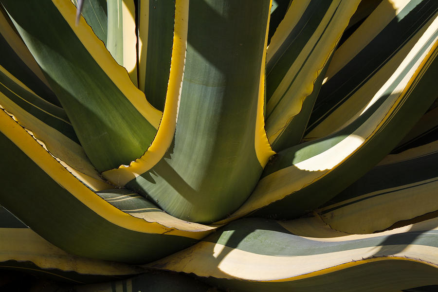 Yellow And Green Agave Photograph By Roger Mullenhour