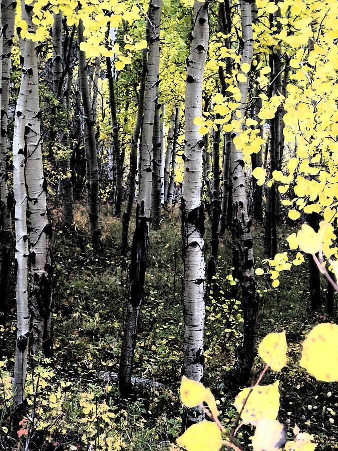 Aspens Digital Art - Yellow Aspens by Bill Kennedy