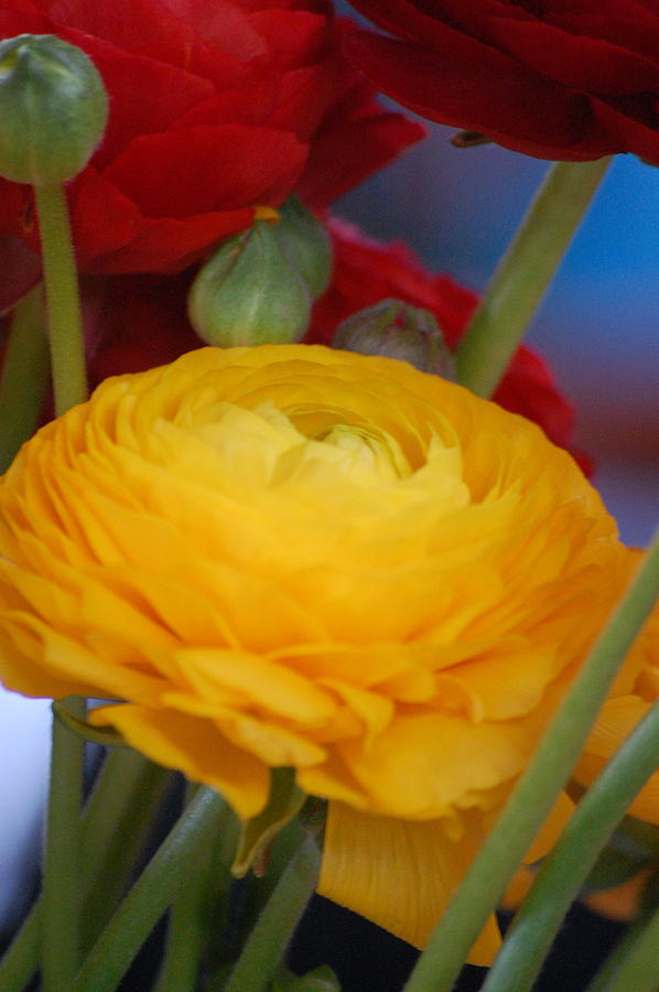 Pure Photograph - Yellow Beauty by Dickon Thompson